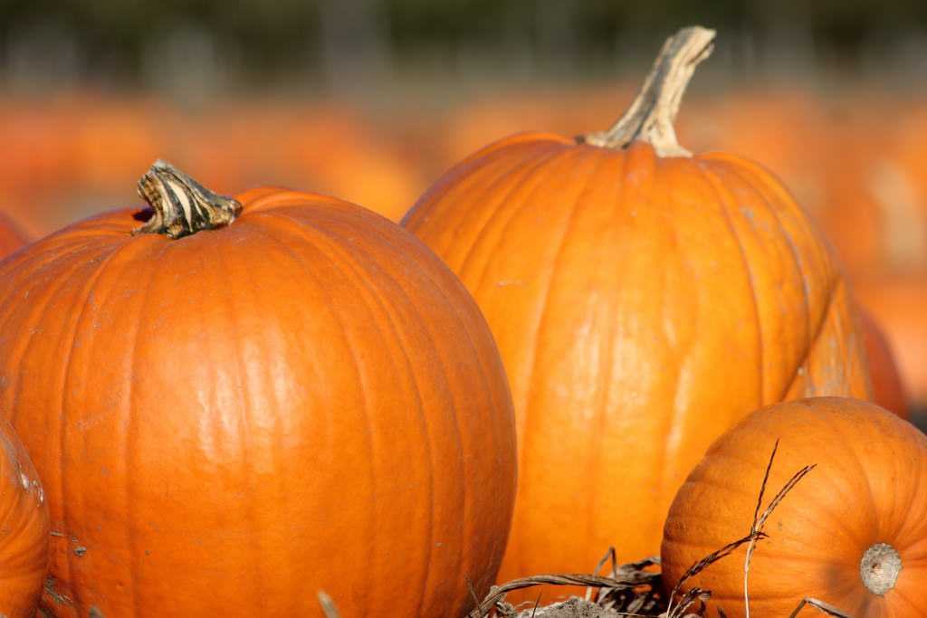 Who says Pumpkin has to be sweet? Try one of these savory dishes, and you will never go back to only eating pumpkin in pies! Thanksgiving meals will never be the same once you discover how versatile this stuff can be!