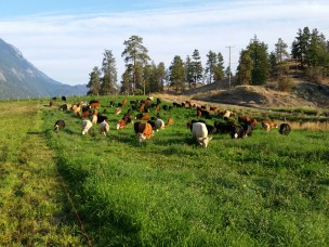 LILLOOET GROWN cattle
