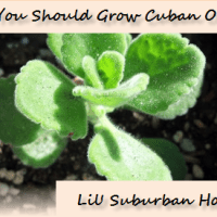 Herb Of The Week - Cuban Oregano