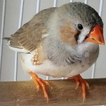 Mr. Man - A male juvenile Zebra Finch