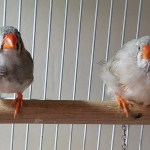 Post-bath Finches