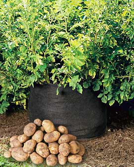 potatoes-grown-in-a-bag.jpg