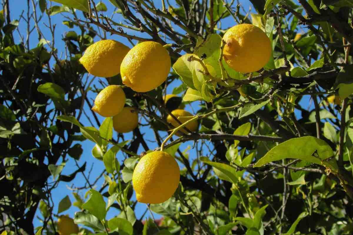 Limoni-Costa-di-Amalfi