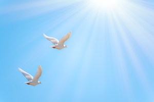 Two White Doves Fly In A Clear Blue Sky. Two White Doves Fly In