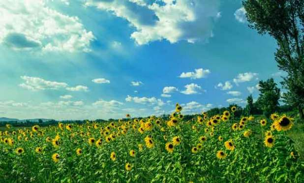 How-to-Make-Sunflower-Paper-Flower-field-huge