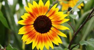 How to Make Sunflower Paper Flower