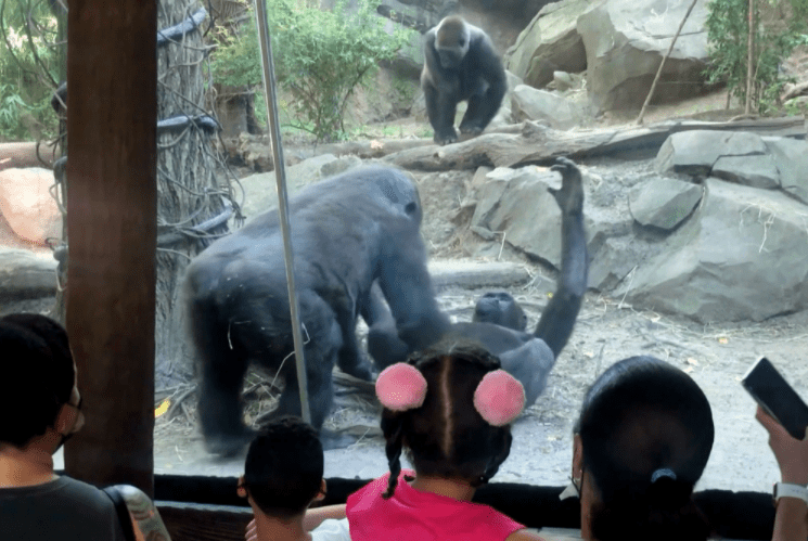 Onlookers in shock as gorilla performs oral s3x on its partner in a zoo (photo)