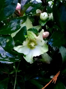 The first Hellebore of the season in bloom Nov. 1