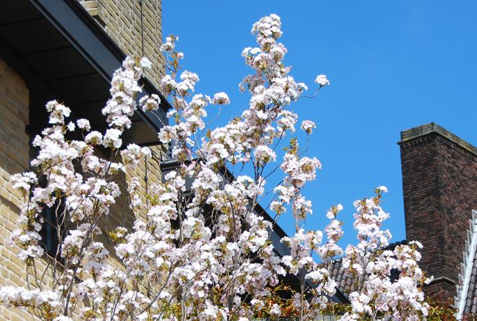 Amsterdam lente spring bloesem blossom pink Netherlands Holland blue sky