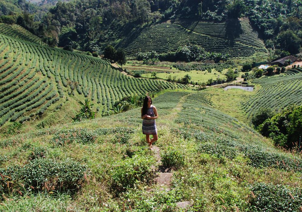 Thee plantage Tea Plantation Chiang Rai