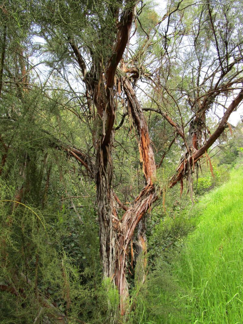 Adenostoma sparsifolium - Red shanks
