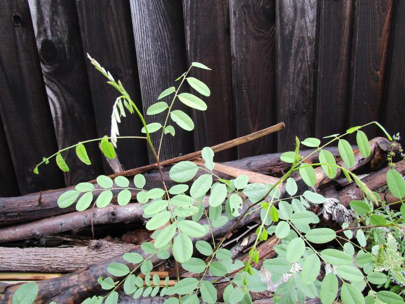 Amorpha californica - California false indigo