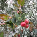 Arctostaphylos Lester Rowntree - 'Lester Rowntree' manzanita