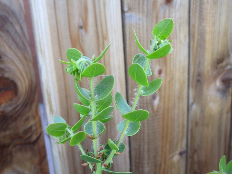 Arctostaphylos purissima Vandenberg - 'Vandenberg' Purissima manzanita
