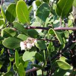 Arctostaphylos hookeri Wayside - 'Wayside' Hooker's manzanita