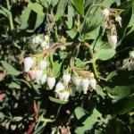 Arctostaphylos viridissima white cloud - 'white cloud' Santa Cruz Island manzanita