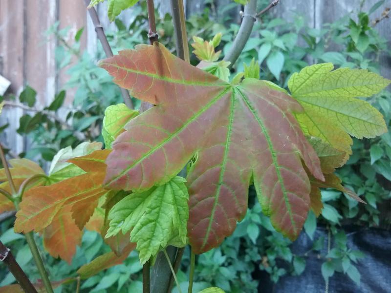 Acer circinatum - Vine maple