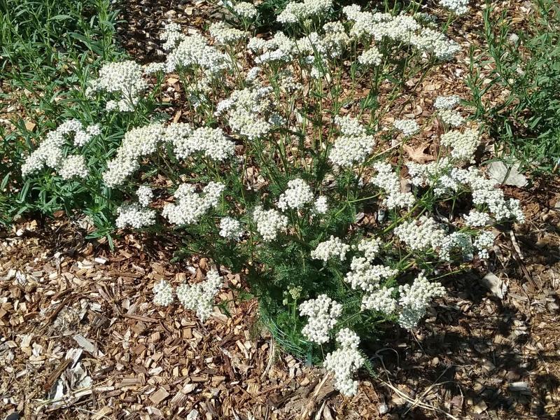 Achillea millefolium Santa Clara County - Yarrow