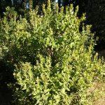 Arctostaphylos andersonii - Heartleaf manzanita