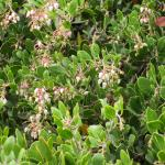 Arctostaphylos rudis Vandenberg - 'Vandenberg' Sand mesa manzanita