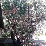 Arctostaphylos manzanita Byrd Hill - Common manzanita 'Byrd Hill'