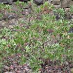 Arctostaphylos manzanita ssp. laevigata - Contra Costa manzanita