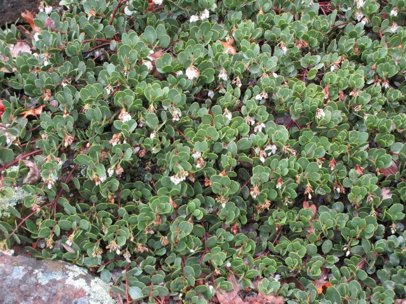 Arctostaphylos montana ssp. ravenii - Presidio manzanita