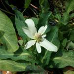 Anemonopsis californica - Yerba mansa