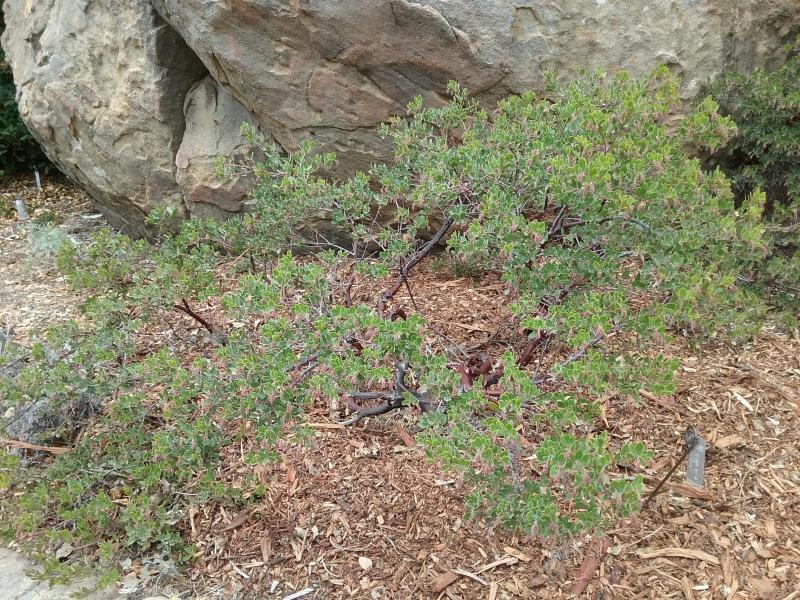 Arctostaphylos hookeri Buxifolia - 'Buxifolia' Hooker's manzanita