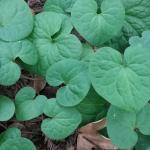 Asarum caudatum - Ginger Root