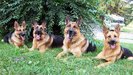 rsz_german_shepherd