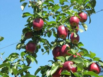 Modí – der grüne Apfel!