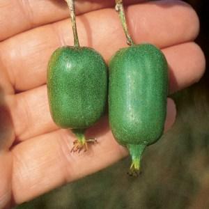 Issai Hardy Kiwi Fruit