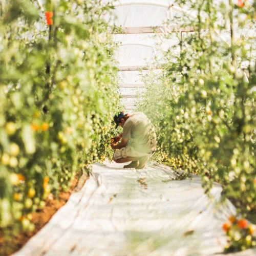 Matt in cherry tomato tunnel TN(1)