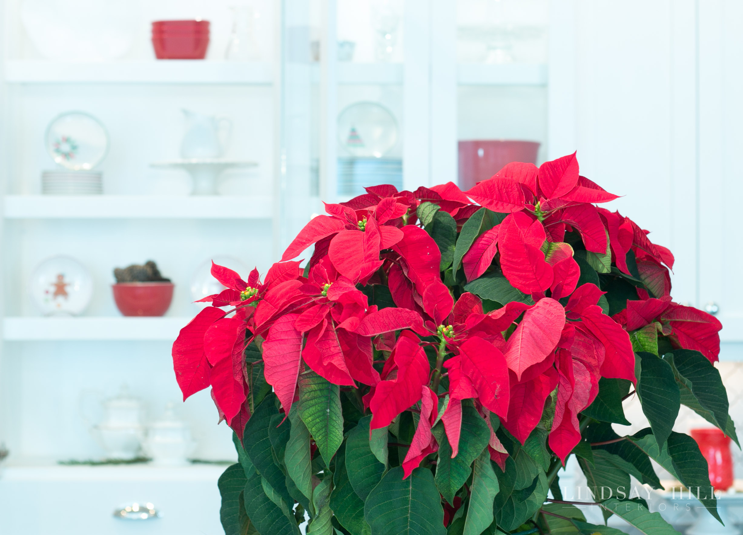 Lindsay Hill Interiors holiday home tour poinsettias in the kitchen