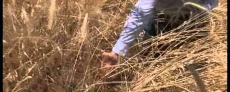 04 Recruitment of native grasses.avi