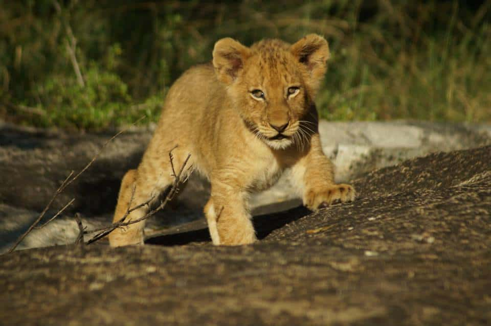 Leeuwenwelp, safari Zuid-Afrika