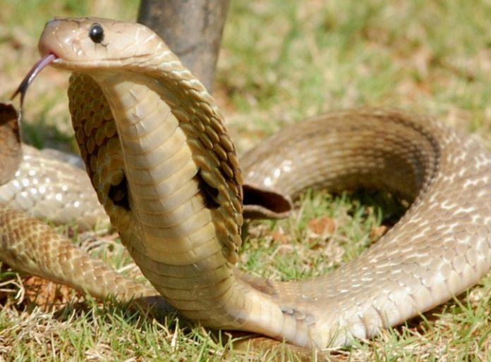 bccl-snake_1468502628_725x725