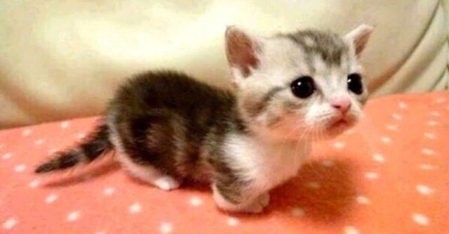 munchkin-kittens-810x421