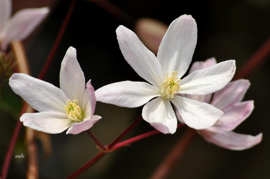 clematis-armandii-appleblosso-2014-7