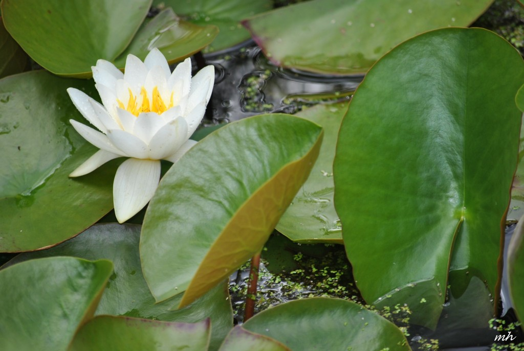 Water Lily June 28 - 2014 (7)