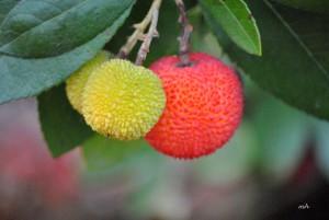 Eastern Strawberry tree (4)