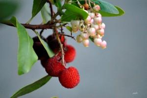 Eastern Strawberry tree (7)
