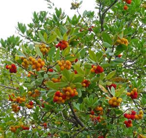 Strawberry tree (3)