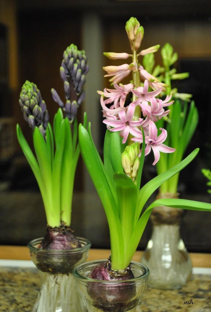 Da Lan Huong(Hyacinthaceae) (mh) (1)