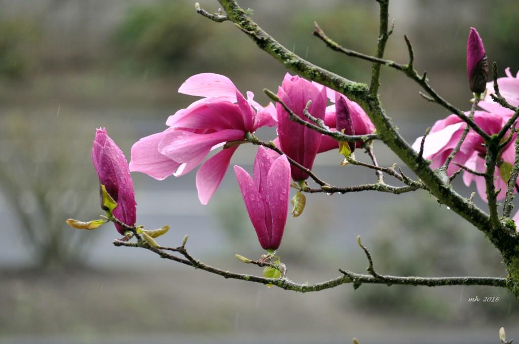Magnolia 2016 (71)