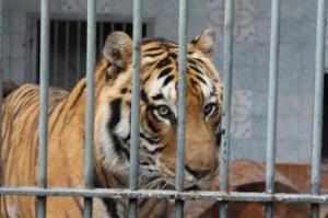 foto articolo tigre cleo