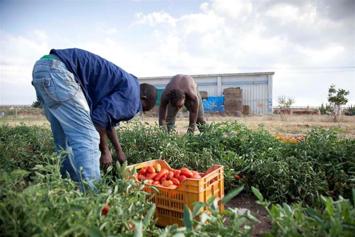 Raccolta dei pomodori, anche quest'anno migliaia di schiavi ...