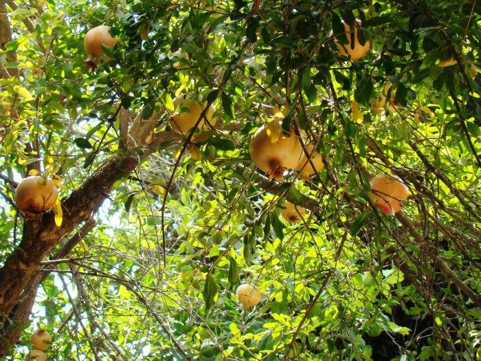 Pomegranate Trees (1)