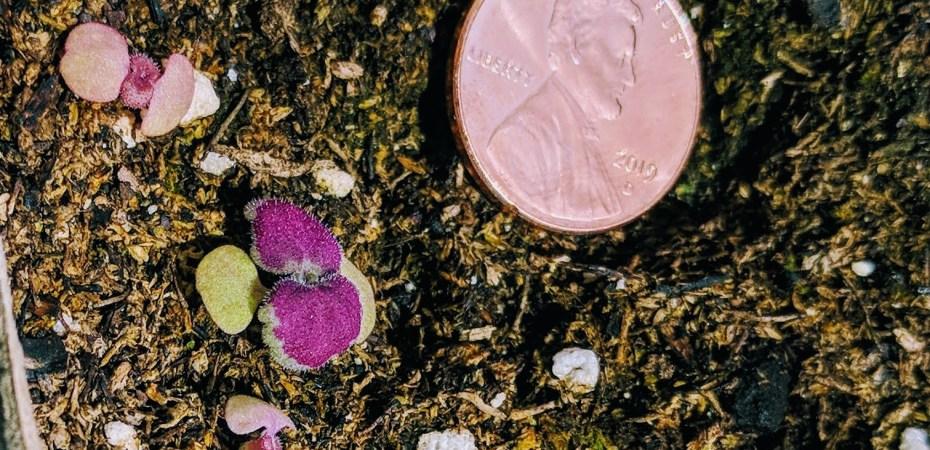 Baby Coleus Plants - Coleus Seedlings